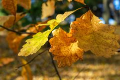 Yellow and Orange White Oak Leaves on a Branch stock image