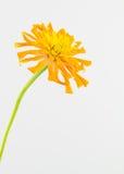 Yellow-orange zinnia flower Royalty Free Stock Images