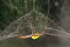 Yellow orb spider Stock Images