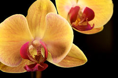 Yellow Orchid. Against black background Royalty Free Stock Photography