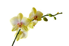 Yellow orchid Royalty Free Stock Image
