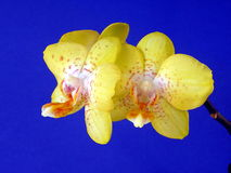 Yellow orchid. Isolated on blue background Stock Image
