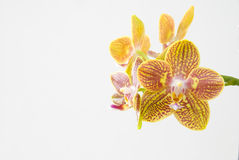 The yellow orchid Stock Photography