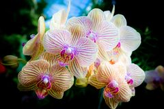 Yellow Orchid. Beautiful yellow orchids close up Royalty Free Stock Photography