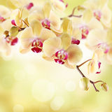 Yellow orchid. On a light background Stock Photos