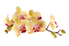 Yellow orchid. On a white background Royalty Free Stock Image
