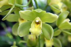 Yellow orchid. Tropical yellow orchid fragile and beautiful Royalty Free Stock Photos