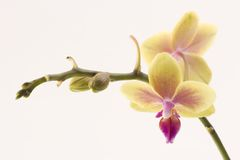 Yellow orchid. A yellow orchid set against a plain background Stock Images