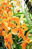 Yellow orchid Royalty Free Stock Photography