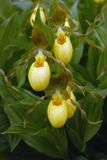 Large yellow Ladys-Slipper Orchid flowers in bloom Royalty Free Stock Photos