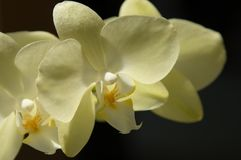 Yellow orchid. Detailed yellow orchid on the black bacground stock image