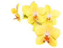 Yellow Orchid. Fresh yellow orchid flowers isolated on white stock photography