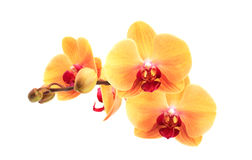 Yellow Orchid Royalty Free Stock Images