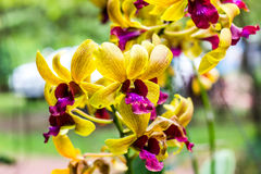 Yellow Orchid Blooming Beautiful In Beautiful. Royalty Free Stock Photo