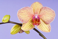 Yellow Orchid Blooming on Lavender Background Stock Photography