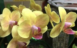 Yellow orchid blooms Royalty Free Stock Photo