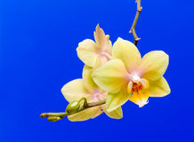 Yellow orchid on a blue background Royalty Free Stock Images