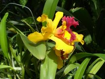 Yellow orchid in botanical garden Bogor stock photography