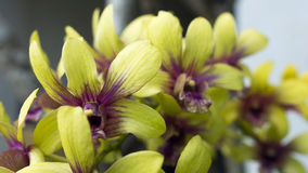 Yellow orchid branch Royalty Free Stock Image