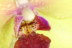 Yellow orchid bud with water drops orchids  background Stock Photos