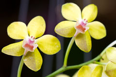 Yellow Orchid. Royalty Free Stock Photography