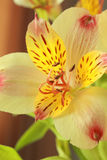 Yellow orchid close up shot Royalty Free Stock Images