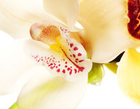 Yellow Orchid closeup Royalty Free Stock Photography