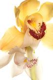Yellow Orchid closeup Royalty Free Stock Images