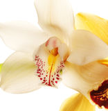 Yellow Orchid closeup Stock Images