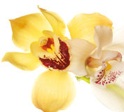 Yellow Orchid closeup Royalty Free Stock Image