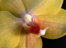 Yellow orchid closeup Royalty Free Stock Photo