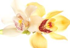 Yellow Orchid closeup Stock Photo