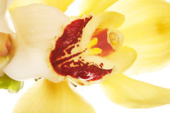 Yellow Orchid closeup Stock Image