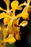 Yellow orchid. Clouse-Up flower, Yellow orchid Stock Images