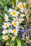 Yellow orchid, Dendrobium farmeri Paxton. Stock Images