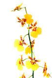 Yellow orchid flower Royalty Free Stock Photography