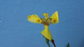 Yellow orchid. Flower against blue wall background Stock Photos