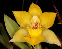 Yellow  orchid flower. Beautiful close up of yellow orchid flowers from brazil Stock Photography