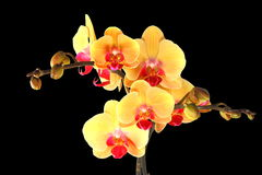 Yellow orchid flower, black isolated Stock Images