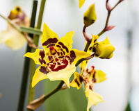 Yellow orchid flower in bloom Royalty Free Stock Image