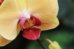 Yellow orchid flower Stock Photos