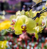 Yellow Orchid flower Royalty Free Stock Images