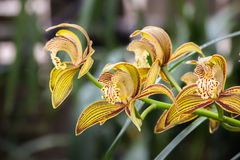 Yellow Orchid Flower. Royalty Free Stock Images