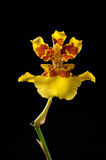 Yellow orchid flower isolated on black Stock Photo