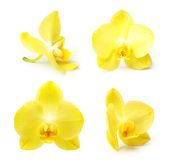 Yellow orchid flower isolated Royalty Free Stock Images