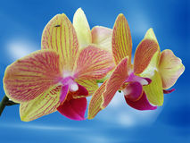 Yellow orchid flower. Yellow orchit flower in the sky Stock Image