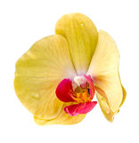 Yellow orchid flower, Orhideea Phalaenopsis Royalty Free Stock Images
