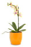 Yellow orchid flower in a pot Royalty Free Stock Photography