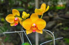 Yellow orchid flower in Thailand royalty free stock photos