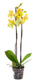 Yellow orchid in a flowerpot Royalty Free Stock Images